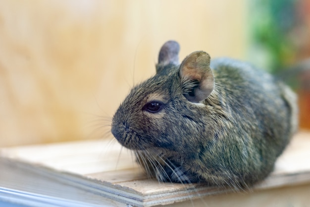 Degu pet relaxing after eating. exotic animal for domestic life.