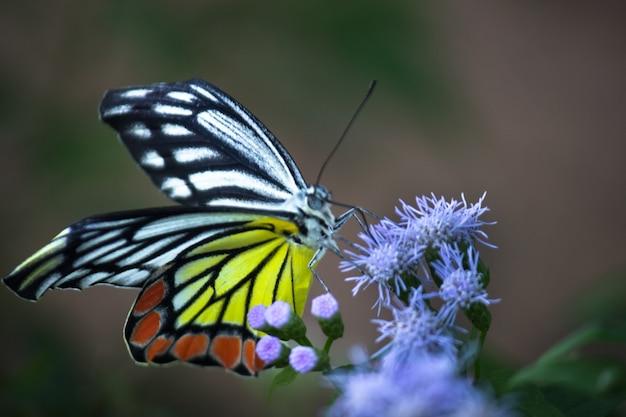 一般的なイザベルであるdeliaseucharisは、花の植物の上に休む中型のシロチョウです。