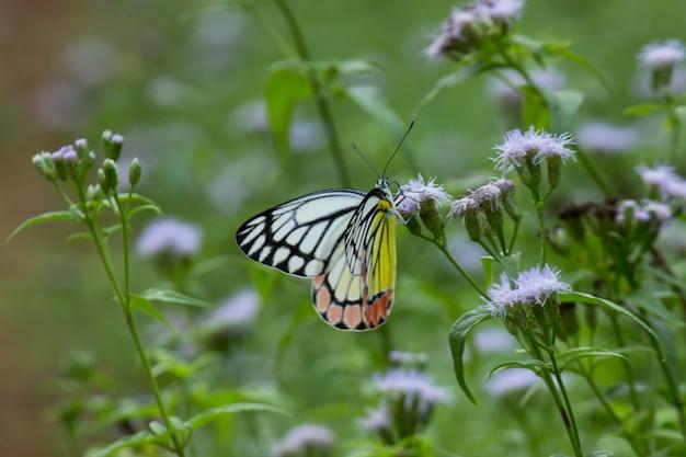 Delias eucharis一般的なカザリシロチョウは、花の植物の上に休む中型のシロチョウです