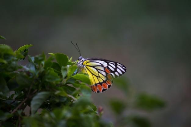 Delias eucharis 일반적인 jezebel은 꽃 식물에 쉬고 있는 중간 크기의 피어드 나비입니다