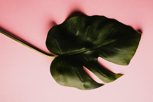 섬세한 alocasia 잎