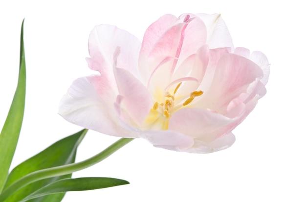 Нежный красивый тюльпан на белом фоне