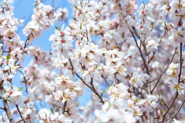 Нежные красивые белые цветы на ветвях на фоне неба