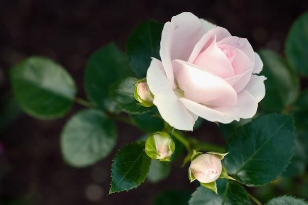 繊細な咲くピンクのバラと3つの閉じたつぼみ