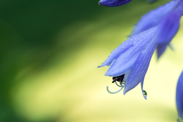 Delicate blue hosta flowers close up on blur nature green.