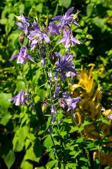 庭の繊細なオダマキの花(aquilegia vulgaris)