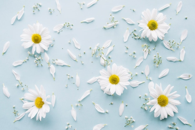 Delicate composition of daisies, baby's breath flowers and white petals on a light blue surface