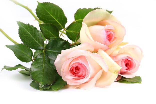 Нежная кремовая роза на белом фоне. креативный минималистичный макет