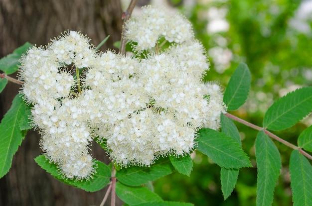 樹皮や葉のに対して春に赤いナナカマドの繊細なお祝いの花