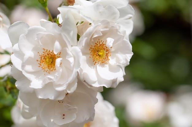バラとワイルド ローズ、白い色の繊細な開花低木