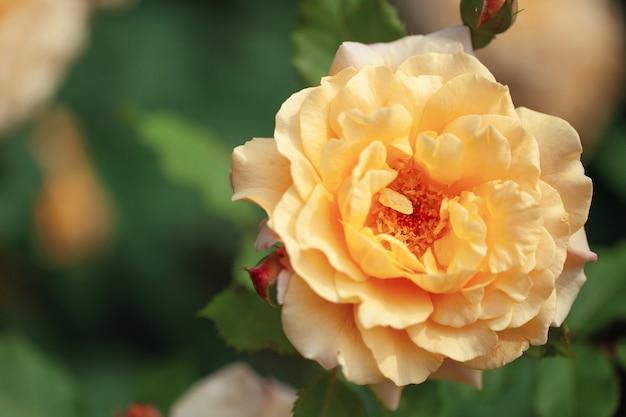 Нежно цветущий куст с розами и шиповником, цвет желтого чая