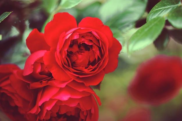バラとワイルド ローズの繊細な開花低木 Premium写真