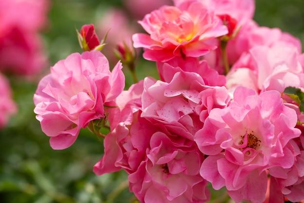 バラとワイルド ローズの繊細な開花低木