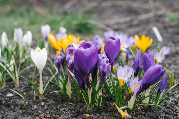 В весенний день в саду растут нежные цветы фиолетовых и желтых х крокусов
