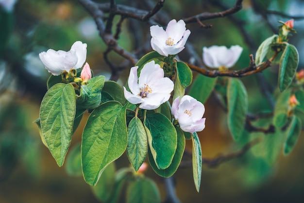 マルメロの木の繊細な花