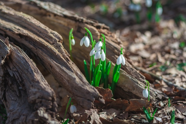 Delicate flowers snowdrops grew on an old stump in the woods. spring landscape.