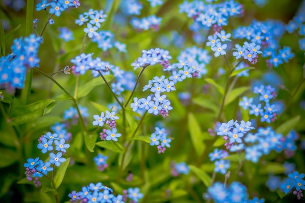 Delicate forget me not flowers.selective focus.group of wild forget-me-not flowers.blooming and beautiful. flower growing on a summer meadow.blue wildflowers