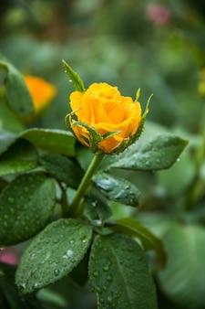 빗방울과 섬세 한 신선한 노란 장미