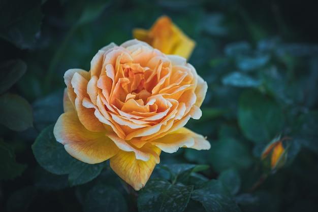 Delicate hybrid tea rose with apricot color petals