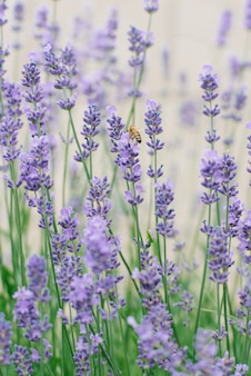 夏の庭で繊細なライラックラベンダーの花。ラベンダーの花の上に蜂が座っています。