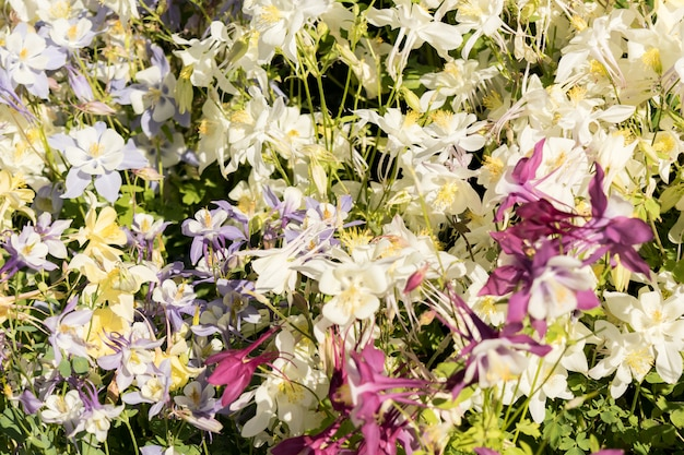 Delicate mixed columbine flowers in a floral market