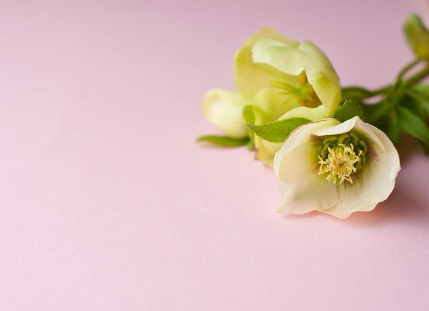 Нежные нежно-зеленые цветки морозника лежат на розовом фоне. место для вашего текста.