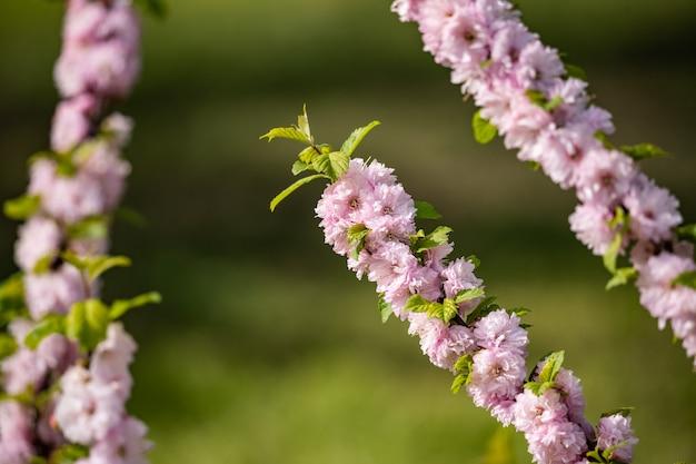 Нежные розовые цветы миндаля на фоне крупным планом зелени. весенний цветущий сад.