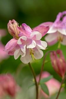 夏の緑の表面にある繊細なピンクのオダマキ多年生の庭の植物