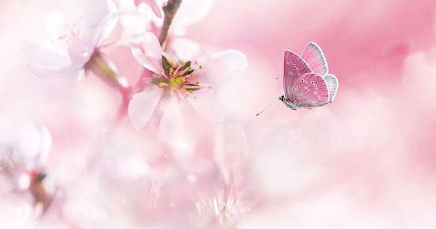 Delicate pink blossom almond and flying butterfly on spring morning. spring abstract background