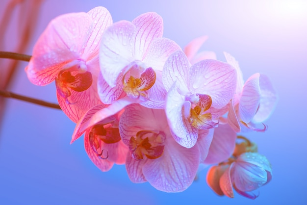 Delicate pink orchid with dew drops close-up on light blue background