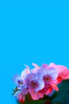 Delicate pink orchid with dew drops close-up on light blue