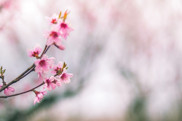 Delicate pink peach flowers close-up