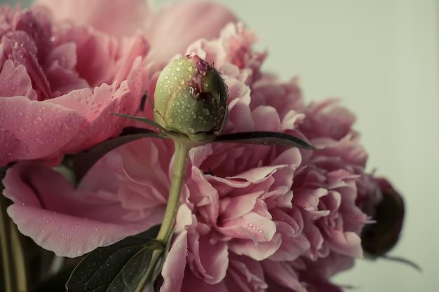 水滴の繊細なピンクの牡丹とつぼみのクローズアップ水滴のクローズアップのピンクの牡丹の未開封のつぼみ着色された写真