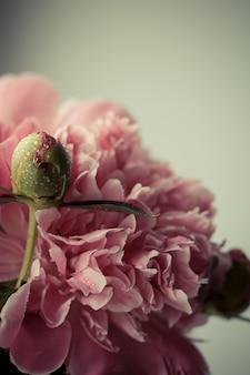 繊細なピンクの牡丹と水滴のつぼみのクローズアップ