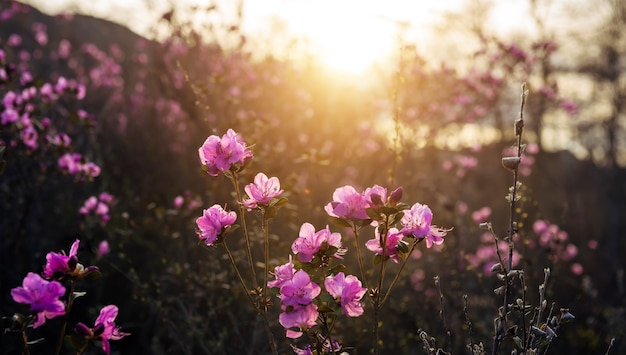 日光の下で繊細なピンクのシャクナゲの花、ぼやけた背景、クローズアップ。咲く庭の日没または日の出。春先のアルタイ山脈のマラルニクの茂み。