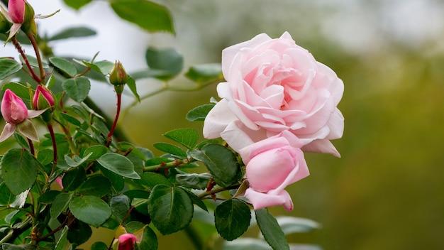ぼやけた背景につぼみのある繊細なピンクのバラ