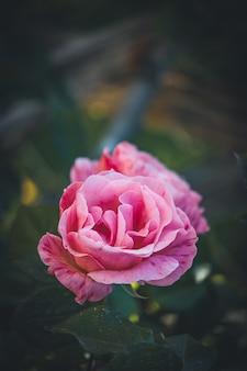 Нежная розовая полосатая роза, выращиваемая в садах городского парка