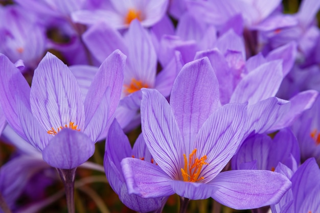 Delicate purple saffron flowers in a garden
