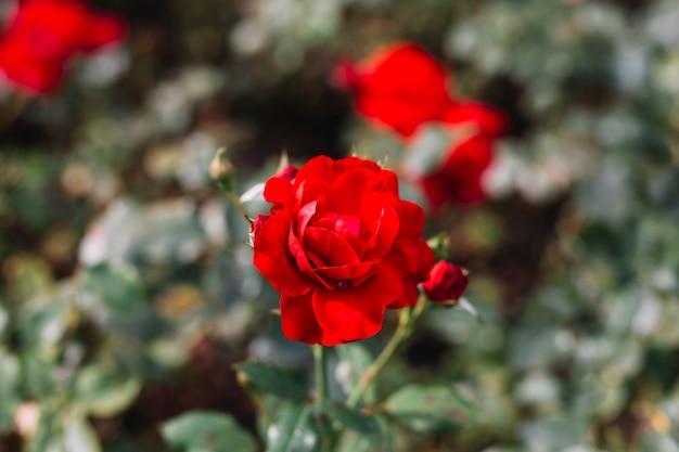 Delicato fiore rosso in giardino