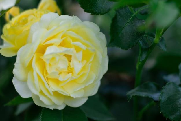 庭の繊細なバラのつぼみ