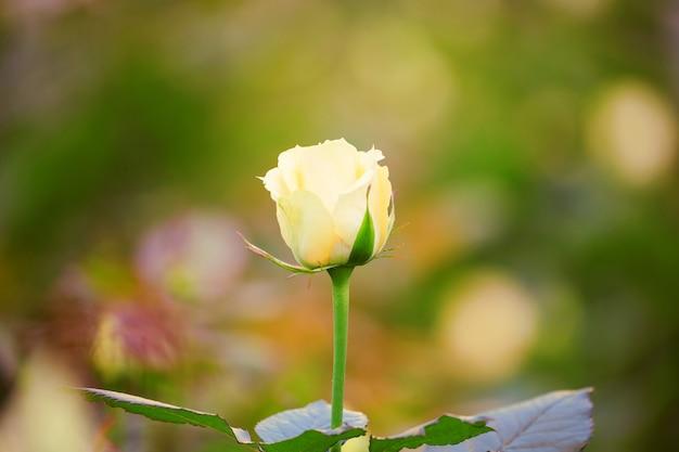 Нежный бутон розы на кустах в теплице, фон размытый