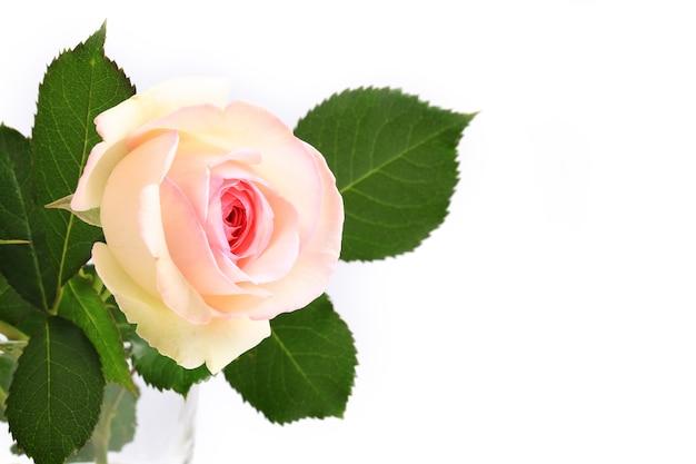 Нежная роза на светлом фоне