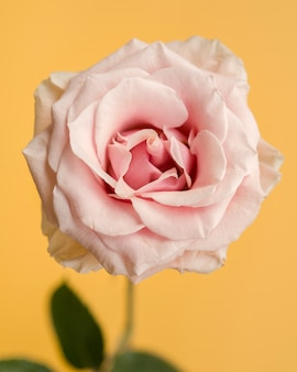 Delicate rose on yellow background