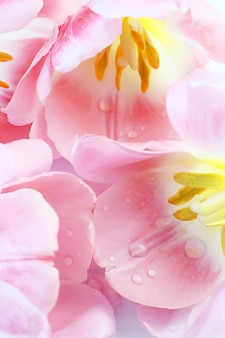 ピンクのチューリップが閉じる繊細な柔らかいパステル調の背景