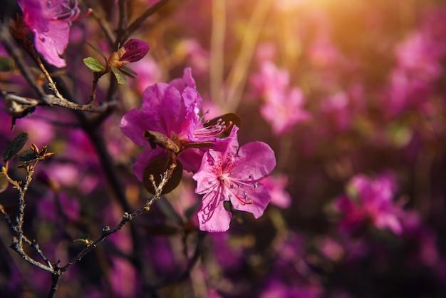 Нежные весенние розовые цветы в солнечном свете, мягкий фокус, крупный план. цветущая вишня, миндаль, рододендрон. цветочный фон.
