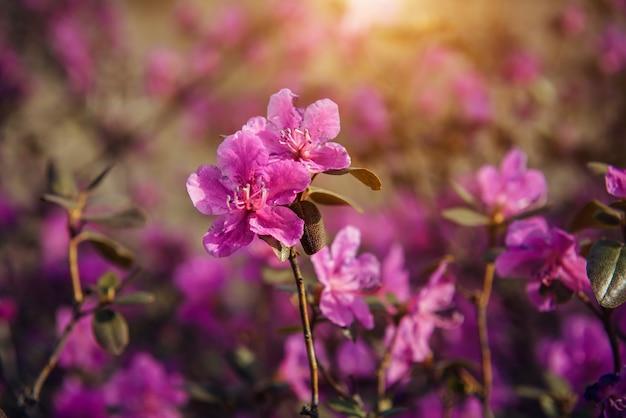 햇빛, 부드러운 초점, 클로즈업에서 섬세한 봄 분홍색 꽃. 벚꽃, 아몬드, 진달래. 꽃 배경입니다.