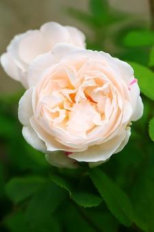 Delicate tea rose in the garden gentle pink shallow depth of field summer
