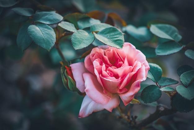Delicate tea rose in a garden