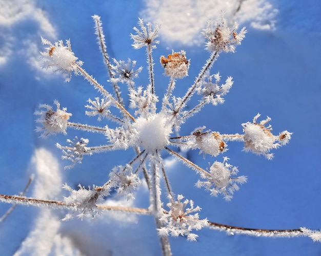 Delicate  vegetation covered by frost  under blue sky