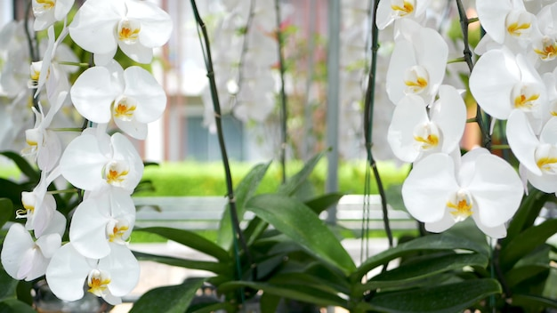 Delicate white elegant orchid flowers with yellow centers in sunlight